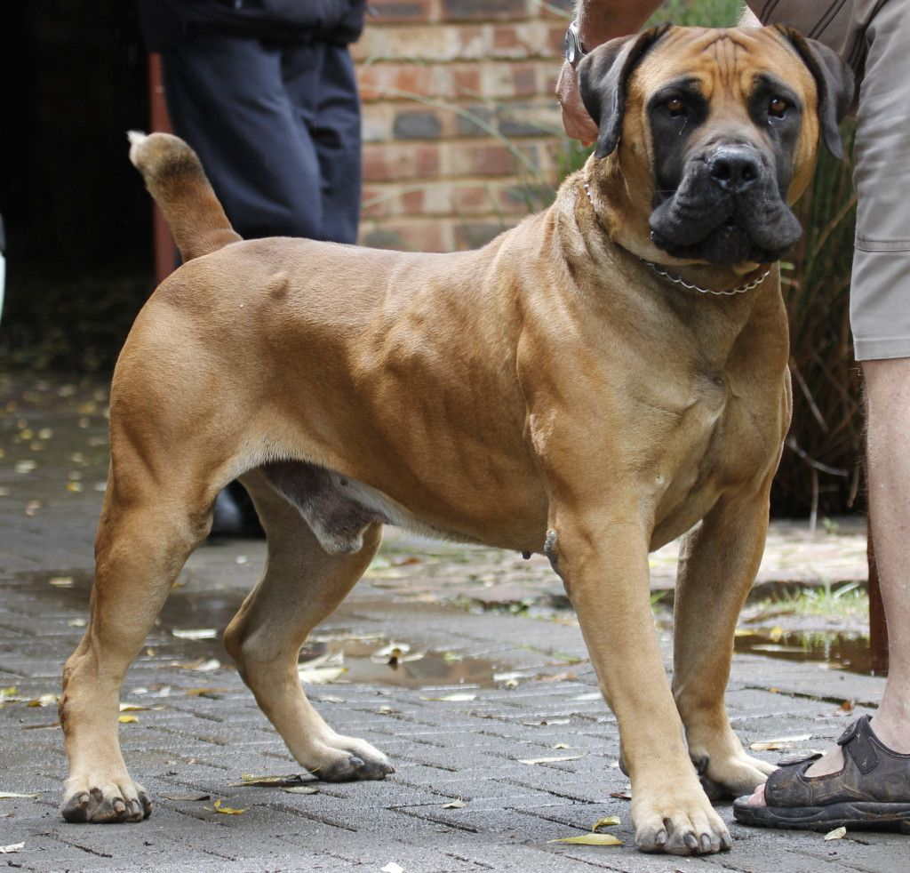 Large South African Dog Breeds