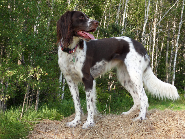 French Spaniel Info Temperament Puppies Pictures