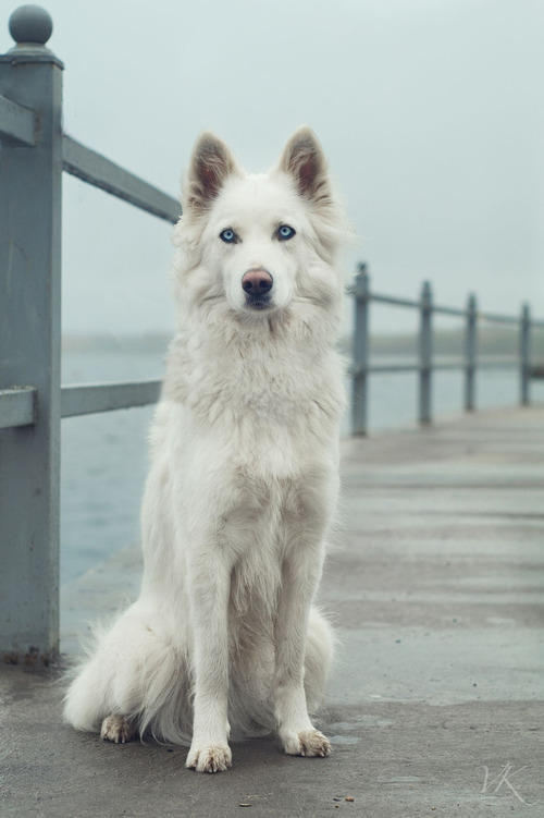 What Breed Are Sled Dogs