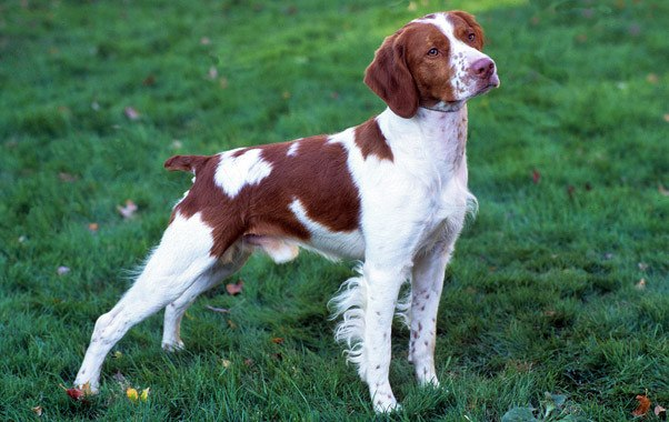 Brittany Dog Info Temperament Puppies Pictures