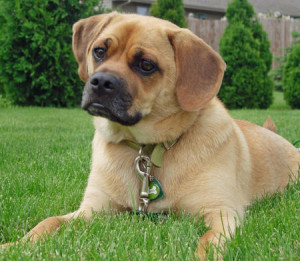 Puggle Pug And Beagle Mix Info