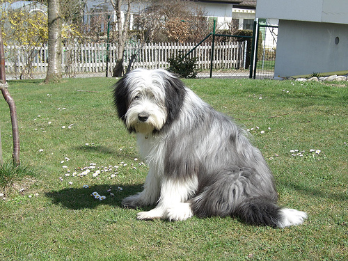 Bearded Collie Info Temperament Puppies Pictures