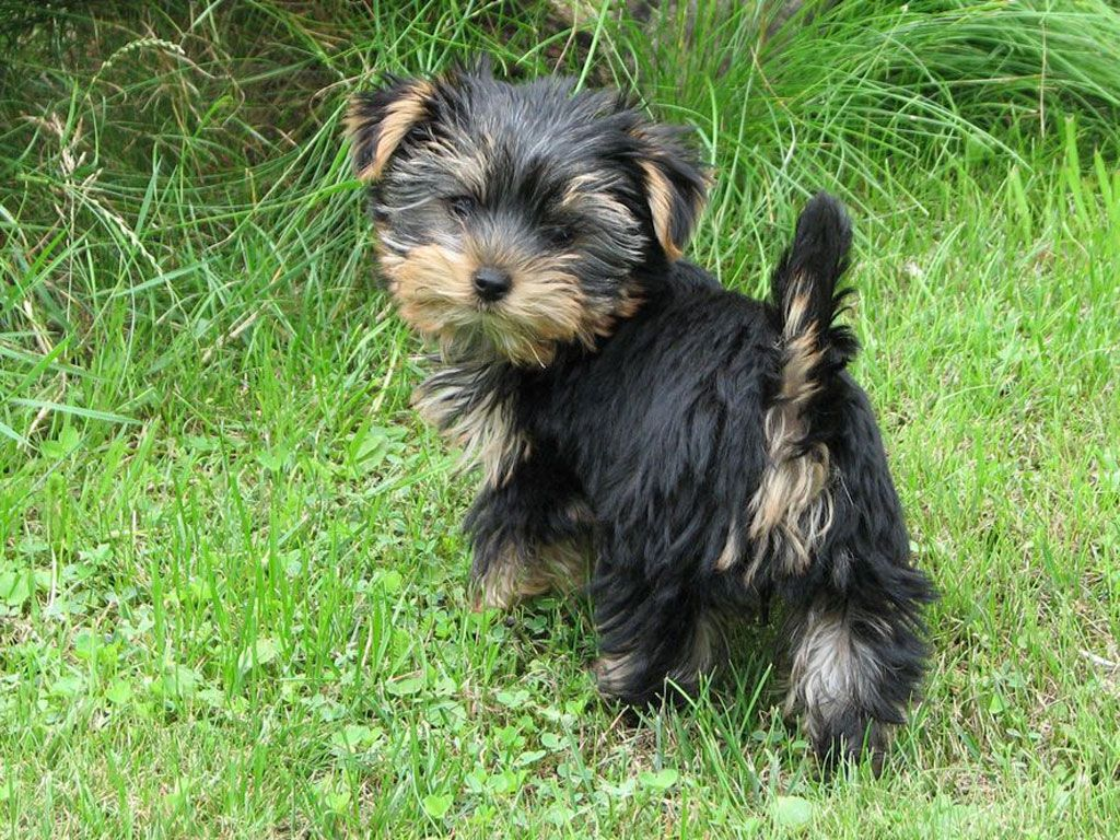 yorkshire terrier characteristics yorkshire terrier info lifespan temperament puppies 8496