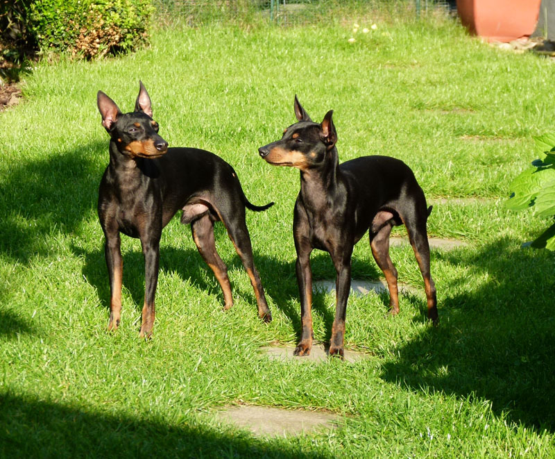 English Toy Terrier Black And Tan Info Puppies Pictures