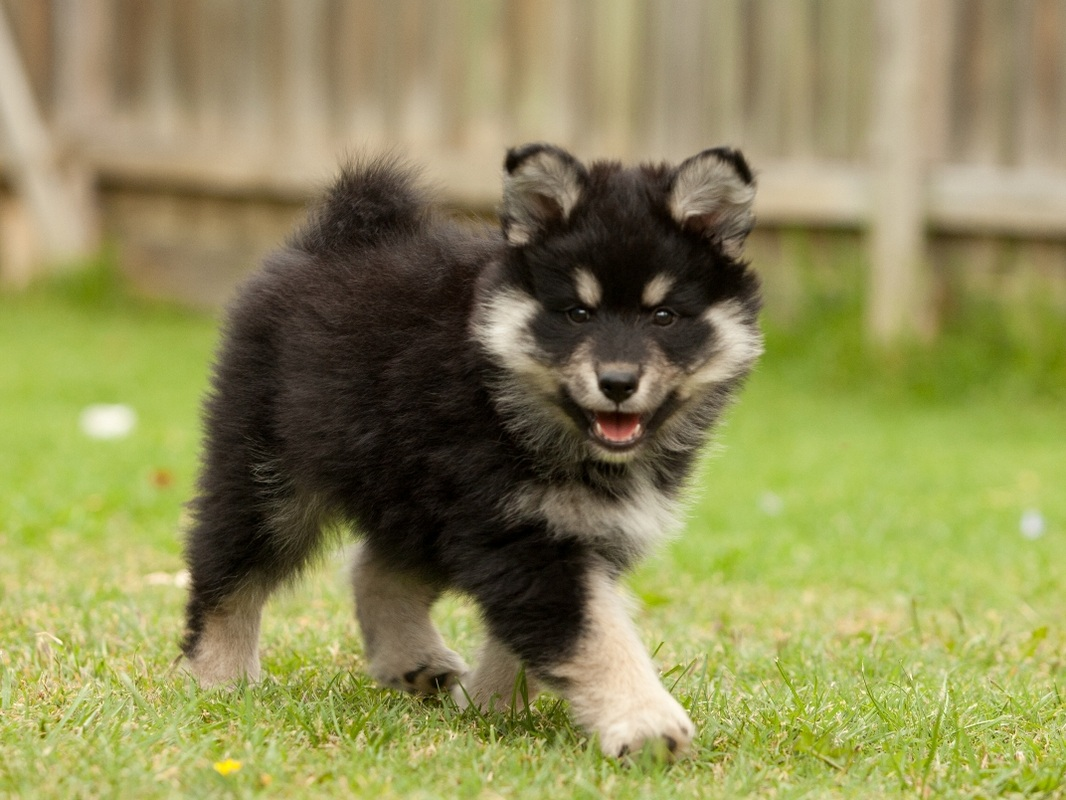 Lapphund Good With Other Dogs