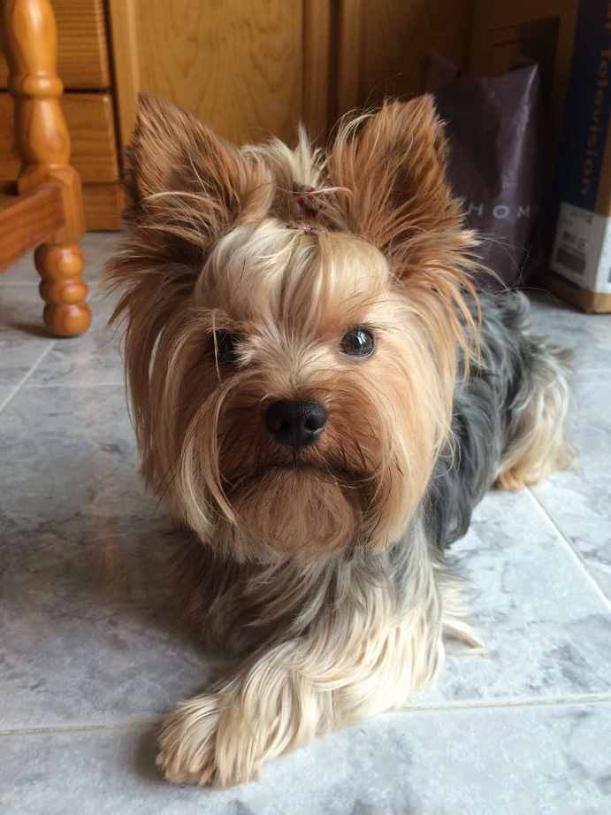 Yorkshire Terrier Info Lifespan Temperament Puppies