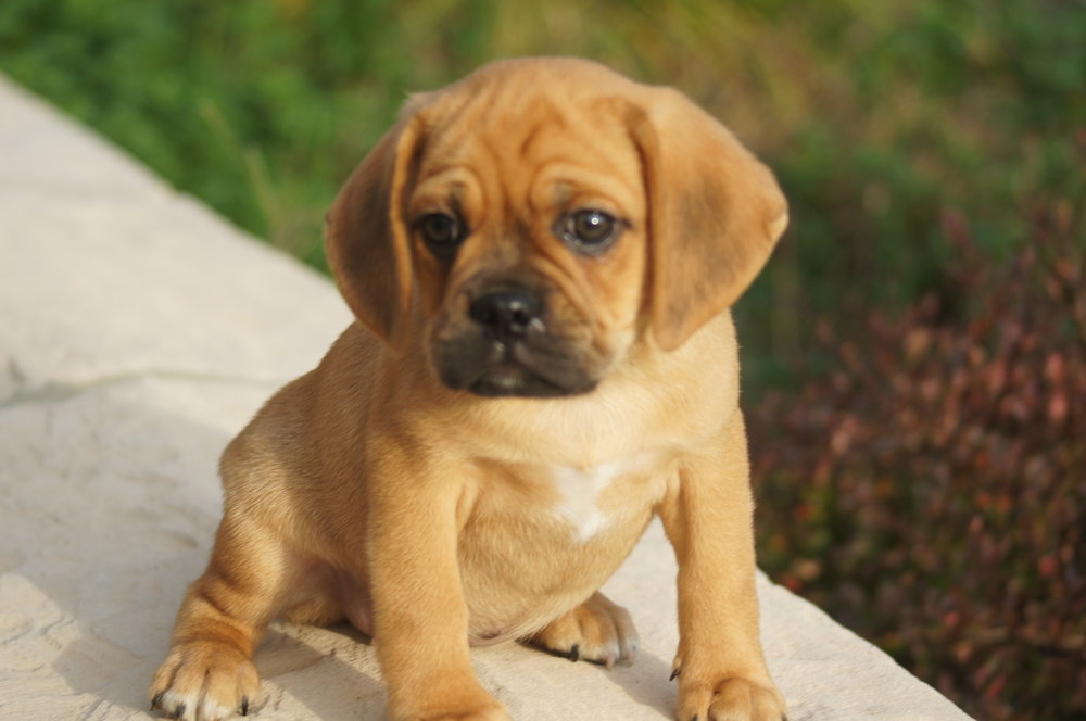 Full Grown Dog Breeds That Look Like Puppies