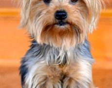 Yorkshire Terrier Info Lifespan Temperament Puppies Pictures