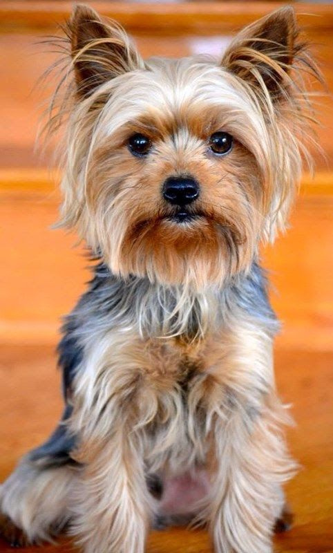 yorkshire terrier characteristics yorkshire terrier info lifespan temperament puppies 3573
