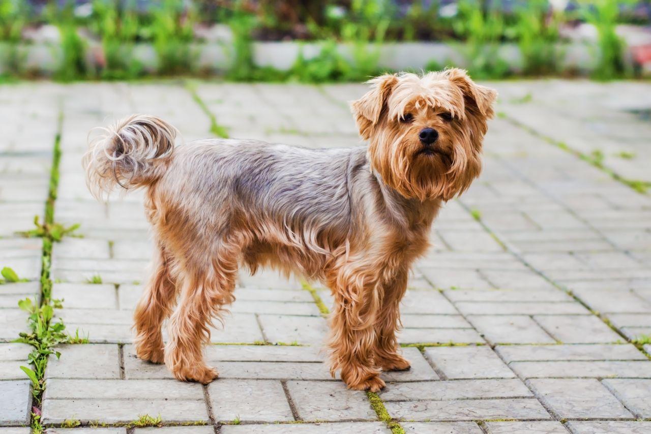Yorkshire Terrier Info, Lifespan, Temperament, Puppies ...