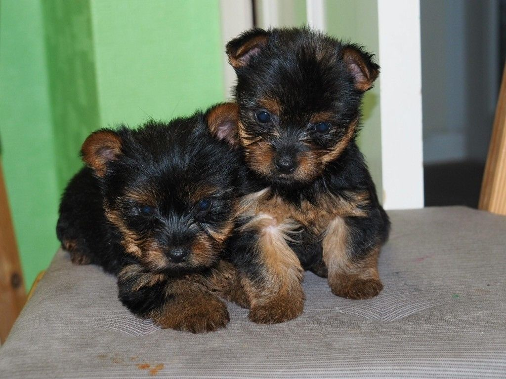 yorkshire terrier characteristics toy yorkie terrier puppies wow blog 8920