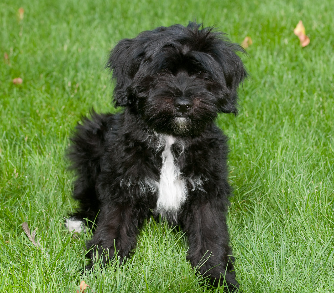 Tibetan Terrier Info Temperament