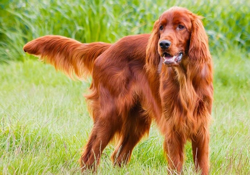 Irish Setter Dog Info Puppies