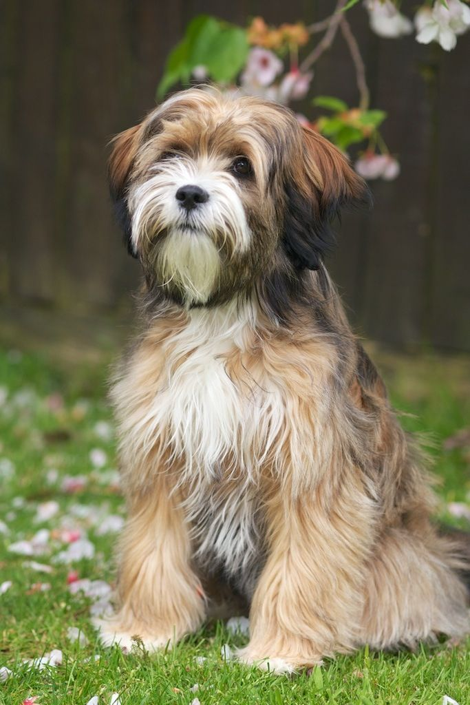 tibetano terrier tibetan terrier info temperament puppies pictures 1697