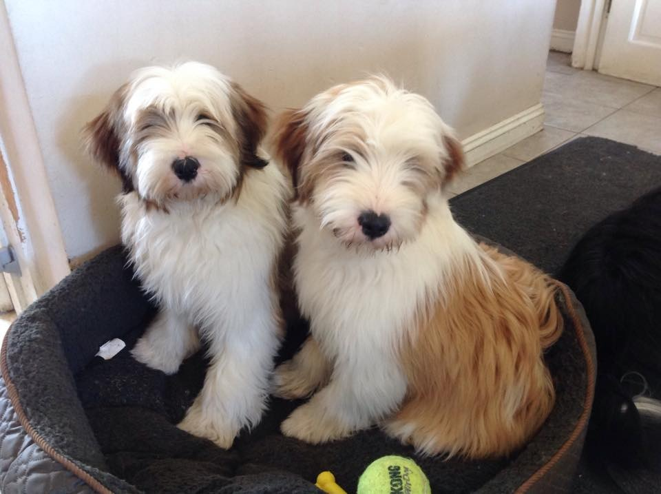 tibetano terrier tibetan terrier info temperament puppies pictures 3735