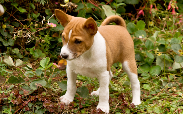basenji info temperament puppies pictures