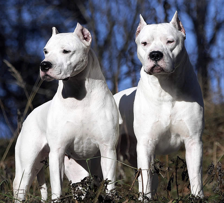 Dogo Argentino Info, Temperament, Life Span, Puppies, Pictures