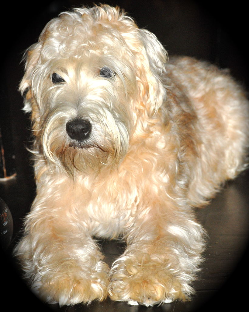 Soft Coated Wheaten Terrier Info Temperament Puppies Pictures