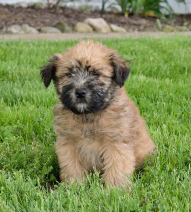 soft haired wheaten terrier puppies soft coated wheaten terrier info temperament puppies 8447