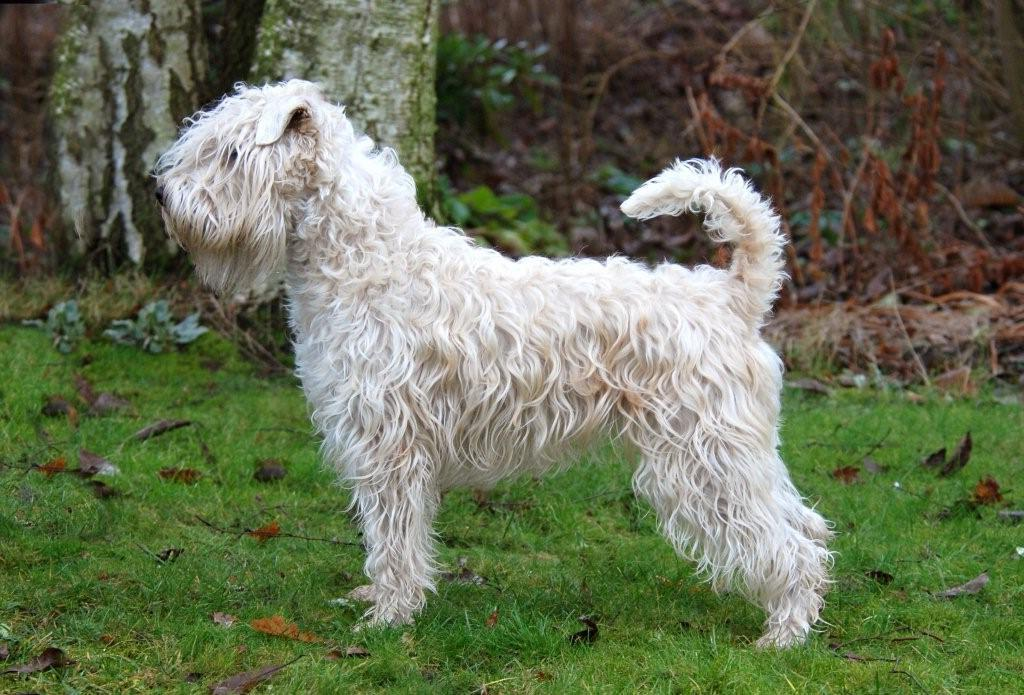 soft coated wheaten terrier shedding soft coated wheaten terrier info temperament puppies 8950
