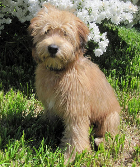 soft coated wheaten terrier shedding soft coated wheaten terrier info temperament puppies 5522