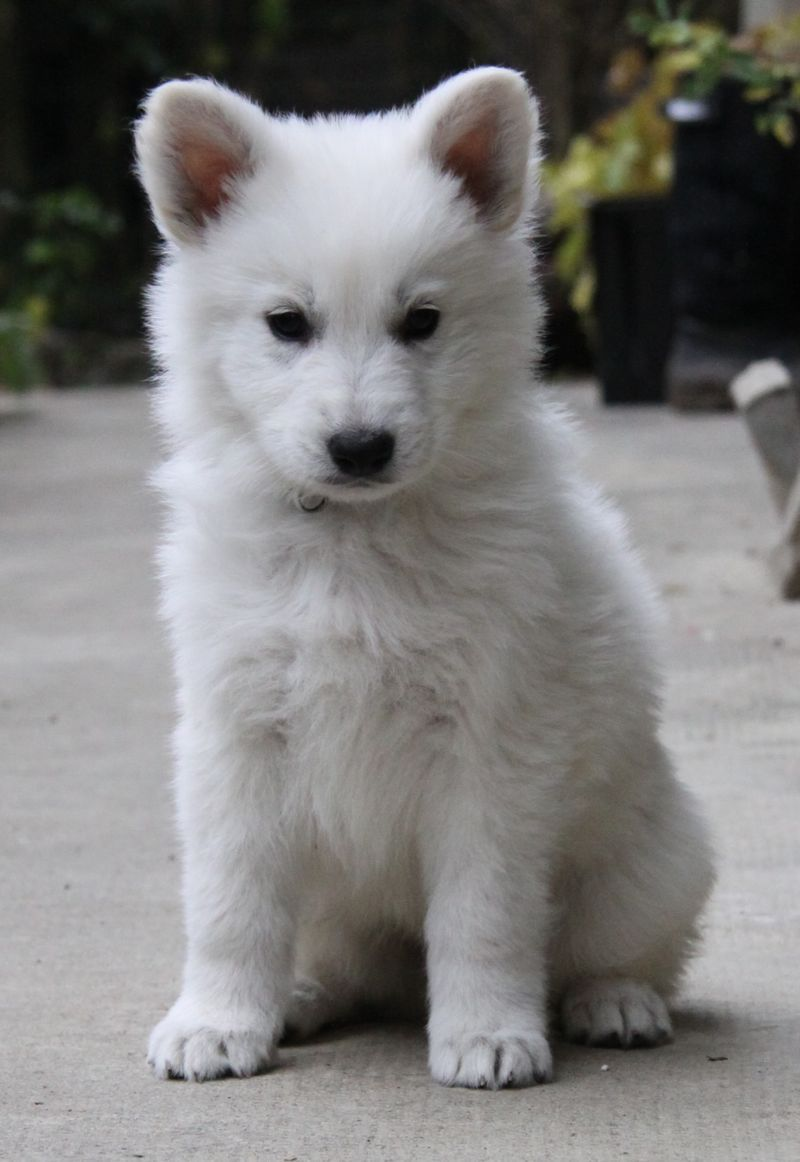 Berger Blanc Suisse Info Temperament Puppies Pictures