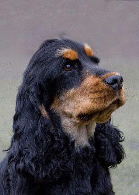 American Cocker Spaniel Info, Temperament, Puppies, Pictures-8071