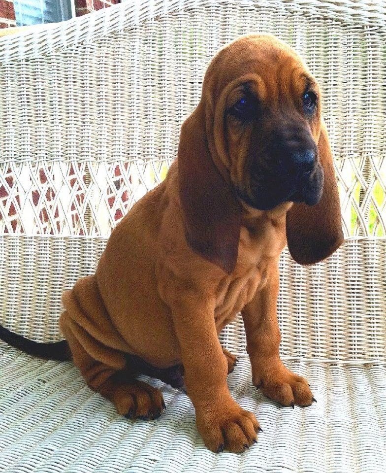 Bloodhound Puppies Info, Temperament, Puppies, Pictures