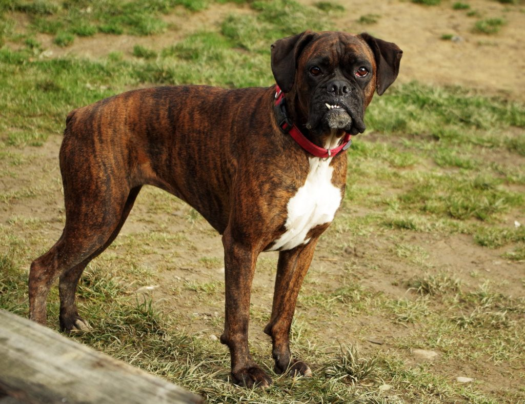Boxer Dog Info, Temperament, Puppies, Pictures