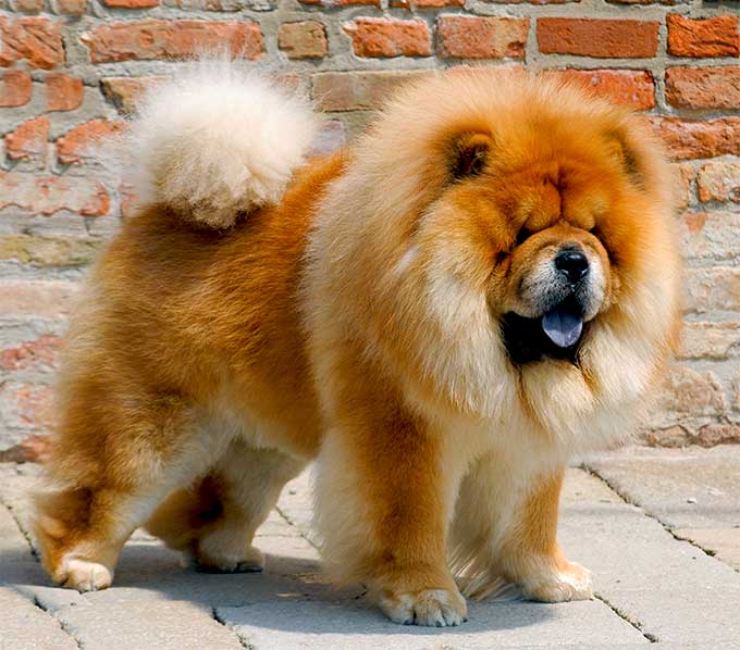 Chow Chow Dog Info Life Expectancy Temperament Puppies Pictures