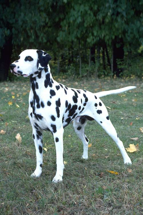 Dalmatian Dog Info Temperament Puppies Pictures