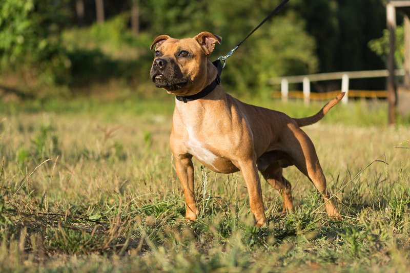 staffordshire bull terrier info  temperament  puppies  pictures