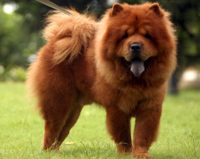 Chow Chow Dog Info, Life Expectancy, Temperament, Puppies, Pictures