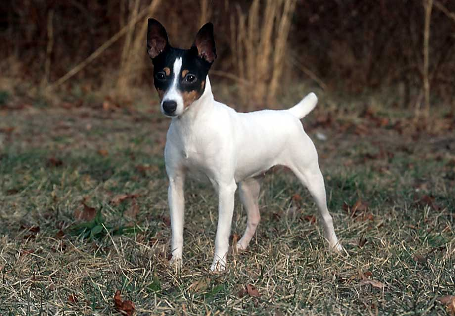 Toy Fox Terrier Info Temperament Life Span Puppies Pictures