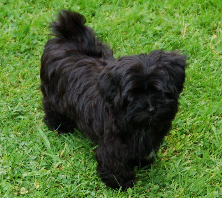 Havanese Dog Info, Temperament, Puppies, Pictures