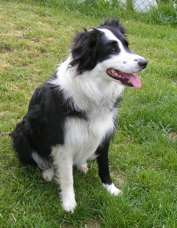 Border Collie Info Temperament Puppies Pictures