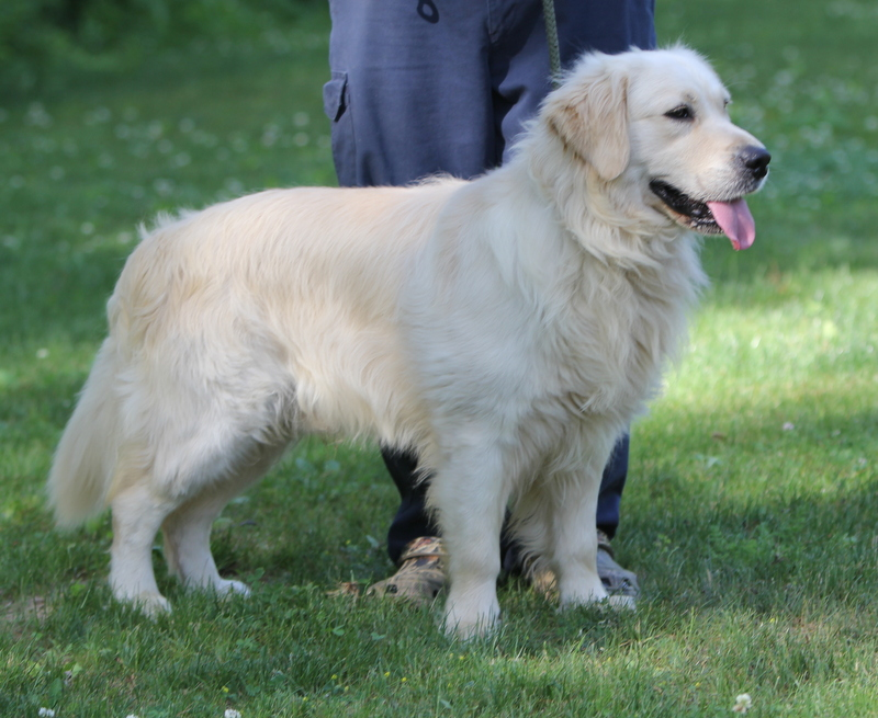 golden retriever lifespan golden retriever info temperament life expectancy 9916