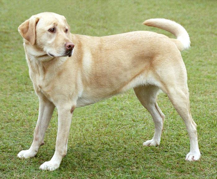 Labrador Retriever Info Temperament