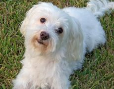 Maltese Dog Info Life Expectancy Size Temperament