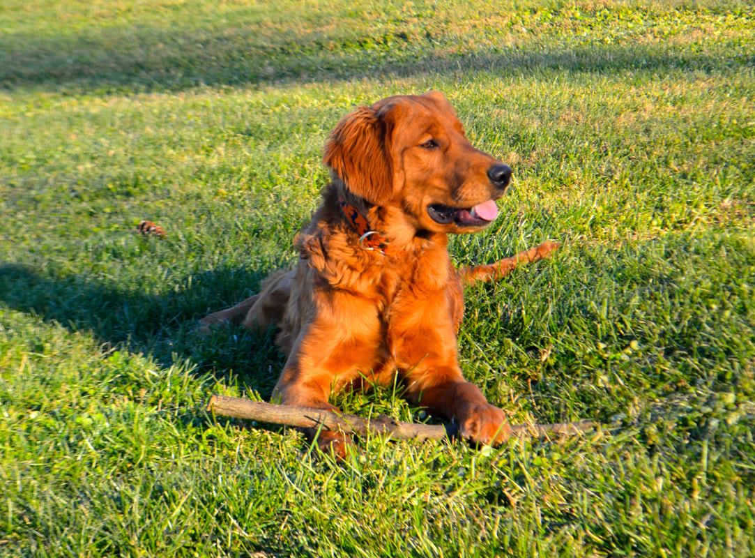 Golden Retriever Info Temperament Life Expectancy Puppies Pictures