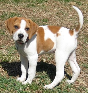 Beagle, Info, Life Expectancy, Temperament, Puppies, Pictures Beagle Boxer Mix Full Grown