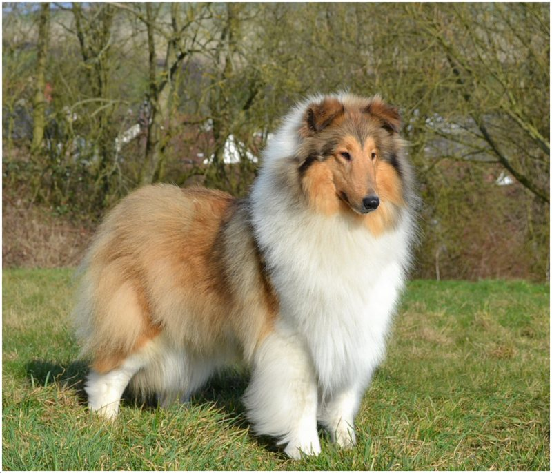 Rough Collie Info Temperament Lifespan Puppies Pictures
