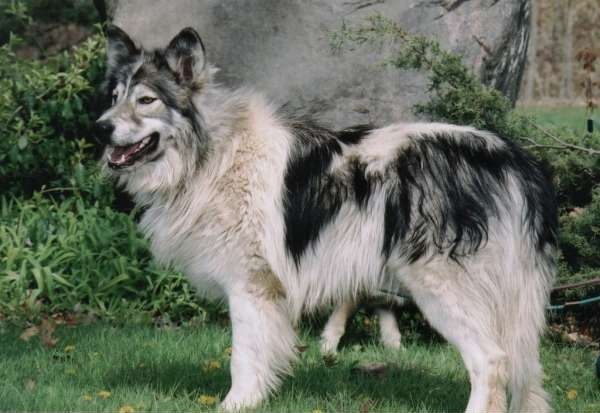 Native American Indian Dog Info, Temperament, Puppies, Pictures