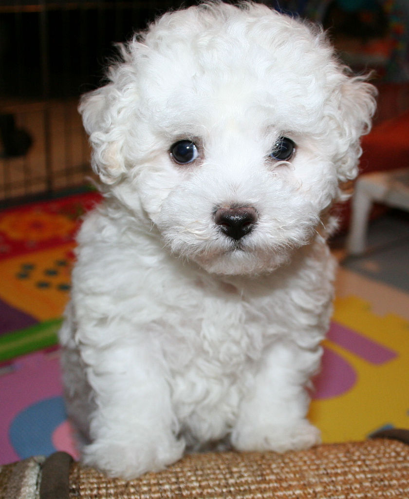 bichon frise info temperament puppies pictures
