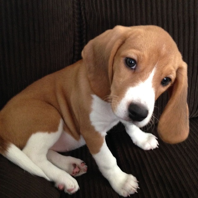 Beagle, Info, Life Expectancy, Temperament, Puppies, Pictures
