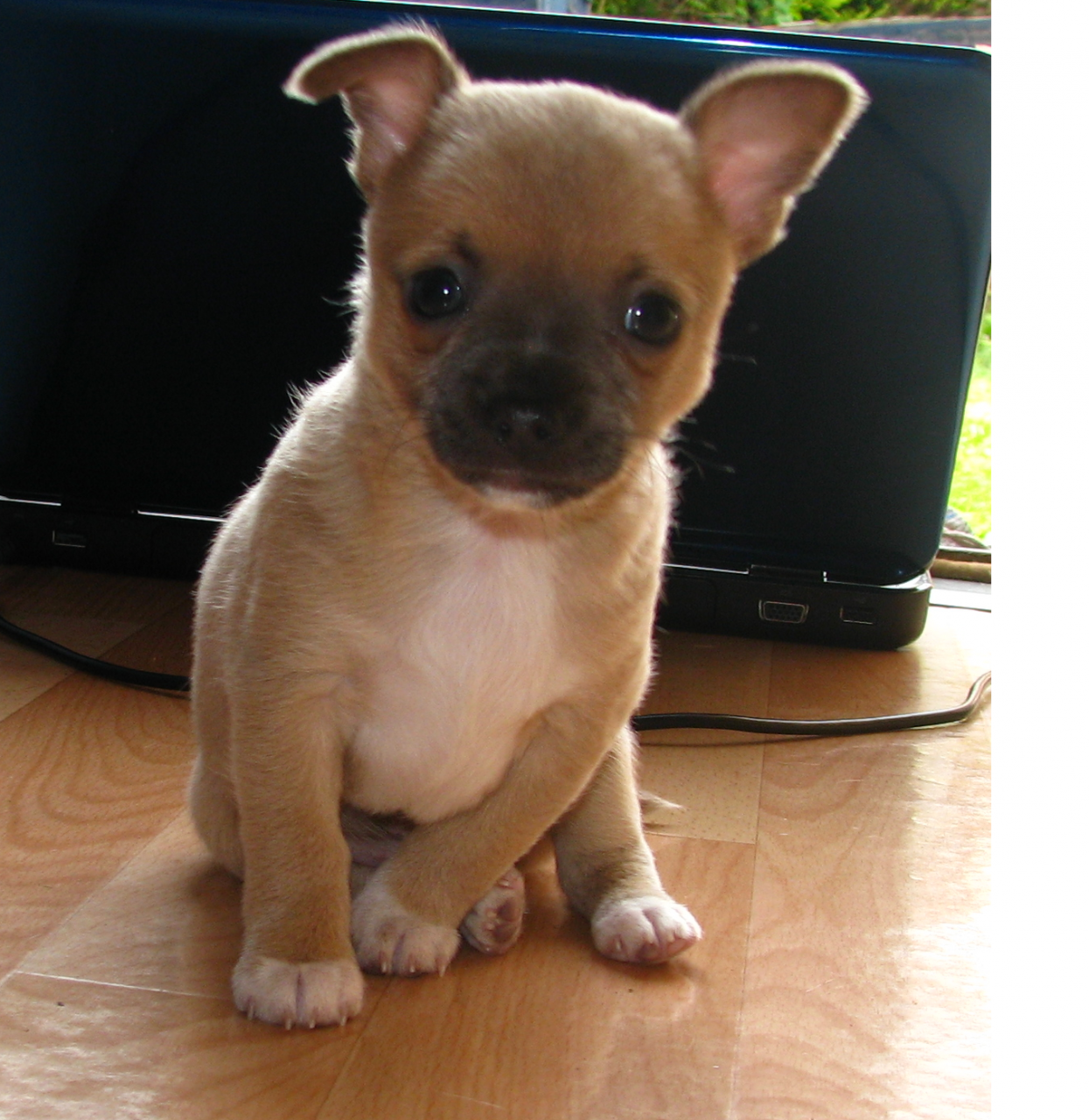 Chihuahua Info Types Lifespan Temperament Puppies Pictures