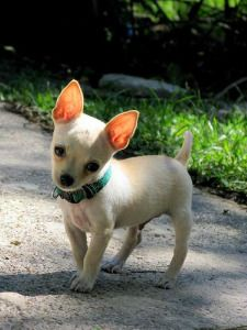 Chihuahua Info Types Lifespan Temperament Mixes