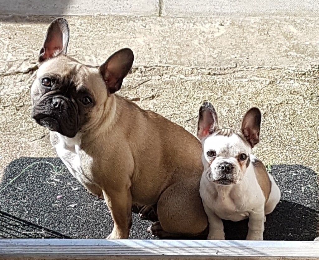 French Bulldog Info Size Temperament Lifespan Puppies