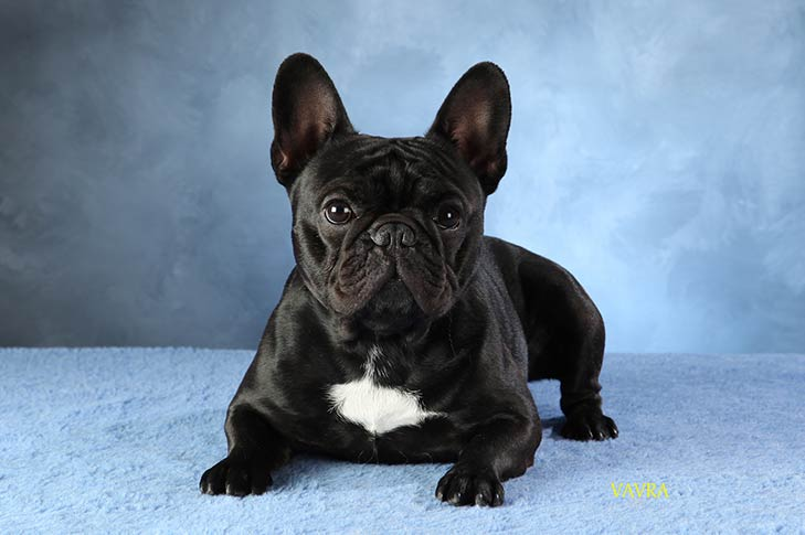 French Bulldog Info Size Temperament Lifespan Puppies Pictures