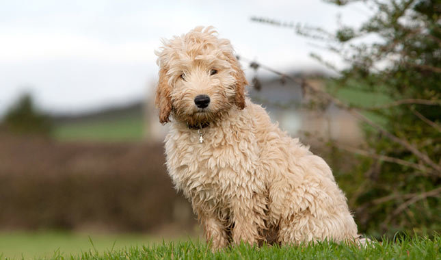 Cockapoo (Cocker Spaniel Poodle Mix) Info, Temperament ...